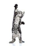 在白色的嬉戏的黑色小猫猫 库存图片
