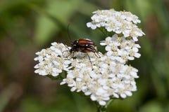 在白色的布朗甲虫在春天 免版税库存图片