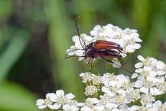 在白色的布朗甲虫在春天 免版税图库摄影