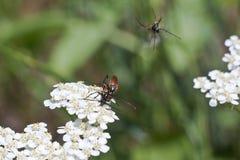 在白色的布朗甲虫在春天 库存照片