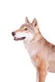 在白色的干草原狼 库存图片