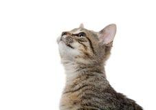 在白色的平纹小猫 免版税库存图片