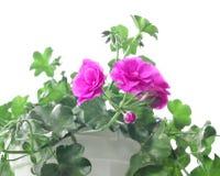 在白色的庭院大竺葵 免版税库存照片