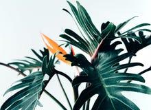 在白色的异乎寻常的热带花strelizia和xanadu叶子 免版税图库摄影
