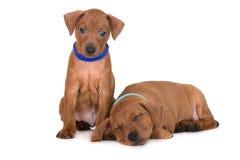 在白色的微型短毛猎犬小狗 免版税图库摄影