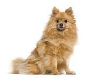 在白色的德国波美丝毛狗 免版税库存照片