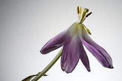 在白色的摧毁的郁金香花 免版税库存照片