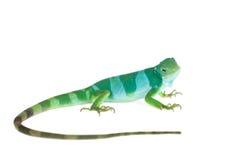 在白色的斐济被结合的鬣鳞蜥 库存图片