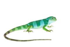在白色的斐济被结合的鬣鳞蜥 库存照片