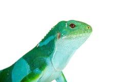 在白色的斐济被结合的鬣鳞蜥 图库摄影