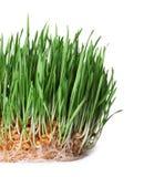 在白色的新鲜的发芽的麦子草 库存照片