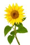 在白色的新鲜的向日葵 免版税库存照片