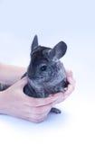 在白色的新黄鼠 免版税库存图片