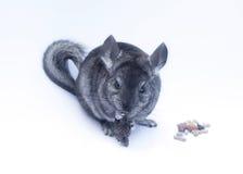 在白色的新黄鼠 库存照片
