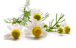 在白色的春黄菊 库存照片
