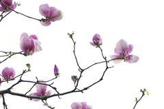 在白色的木兰花 库存图片