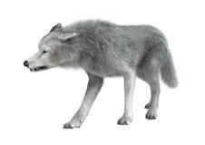 在白色的极性狼 免版税库存图片