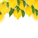 在白色的柠檬树 免版税库存照片