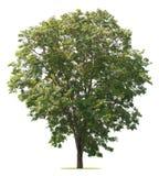 在白色的树孤立 免版税库存图片