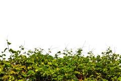 在白色的树篱菜 图库摄影