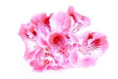 在白色的桃红色大竺葵花 图库摄影