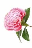 在白色的桃红色山茶花花 库存图片