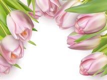 在白色的桃红色新鲜的郁金香 10 eps 库存图片