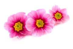 在白色的桃红色春天花 免版税库存图片