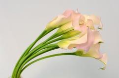 在白色的桃红色水芋百合花隔绝了背景 免版税图库摄影