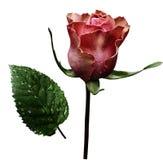 在白色的桃红色玫瑰隔绝了与裁减路线的背景 没有影子 特写镜头 在茎的一朵花与绿色在r以后离开 图库摄影