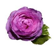 在白色的桃红色紫色花玫瑰隔绝了与裁减路线的背景没有阴影 绿色叶子上升了 对设计 免版税库存照片