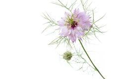 在白色的桃红色nigella damascena花 库存图片