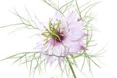 在白色的桃红色nigella damascena花 库存照片