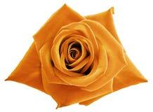 在白色的桔子玫瑰色花隔绝了与裁减路线的背景 没有影子 特写镜头 免版税库存照片
