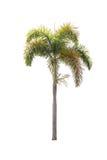 在白色的棕榈树 免版税库存照片