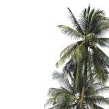 在白色的椰子树 免版税库存照片