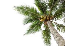 在白色的椰子树 免版税库存图片