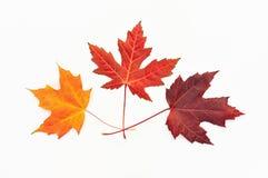 在白色的槭树叶子 库存图片
