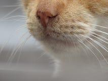 在白色的橙色猫颊须弄脏了背景 库存照片