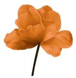 在白色的橙色花郁金香隔绝了与裁减路线的背景 特写镜头 没有影子 色的白色射击 免版税库存图片