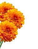 在白色的橙色菊花秋天花 免版税库存图片