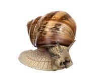 在白色的浅褐色的蜗牛 库存图片