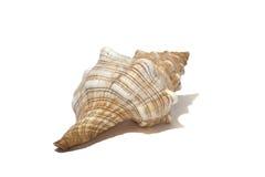 在白色的海洋螺旋壳 库存照片