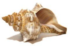 在白色的海洋螺旋壳 免版税库存图片