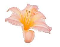 在白色的淡桔色的百合绽放 免版税库存照片