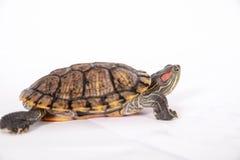 在白色的淡水红有耳的乌龟 库存照片