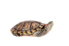在白色的淡水红有耳的乌龟 免版税库存照片