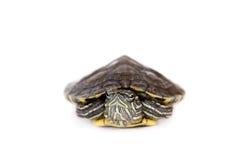 在白色的淡水红有耳的乌龟 免版税图库摄影