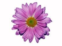 在白色的淡紫色雏菊 免版税库存图片