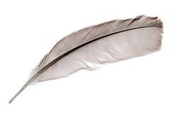 在白色的深灰一根雄鸡羽毛 图库摄影